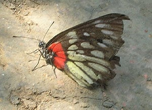 殘破 蝴蝶